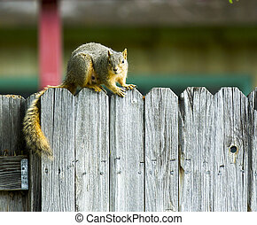 Squirrel hanging out on the fenceline - A Single squirrel on...