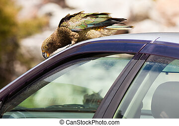 NZ alpine parrot Kea trying to vandalize a car - Endemic New...