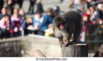 Snow monkey sits on wooden log and hold toy car, many people...