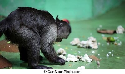 Monkey sits in front of wall and eats in zoo - Monkey sits...