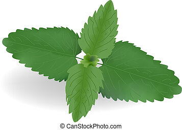 mint - Fresh leaves of mint on a white background