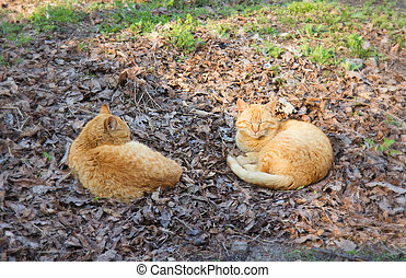 Two red cats sleep on the grass in ZOO, Ukraine