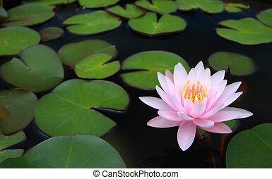 水, 百合花, 蓮花