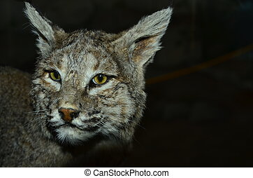 Bobcat - A bobcat on a black background