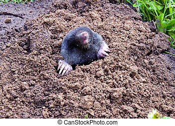 mole head and legs mole-hill. parasitic animal - mole head...