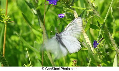white butterflies copulate on flower - aporia crataegi