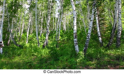 camping tent in summer birch forest