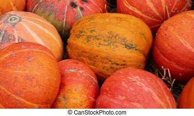 Lot of autumn pumpkin scattered on dry grass - Lot of orange...
