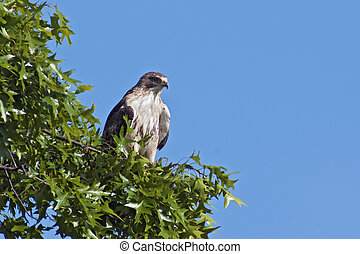 Red-tailed Hawk perched in a tree with blue sky.