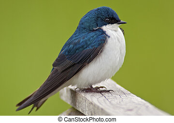 Tree Swallow Close-up - Close-up, detailed image of a Tree...