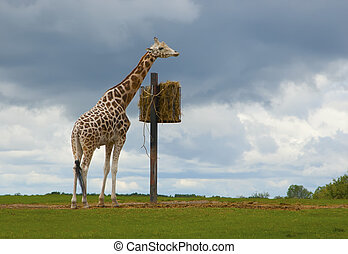 Giraffe eating grass - Photo of a giraffe that is going to...