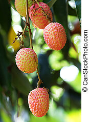lychees - fresh lychees on tree :lychees is fruit