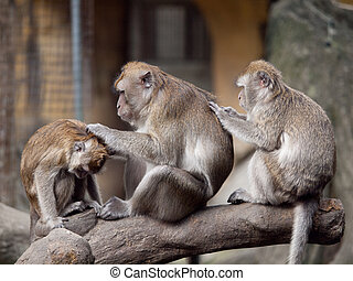 Three monkeys (crab eating macaque) grooming one another. I...