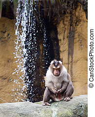 Monkey masturbating - A monkey (pig tailed macaque)...