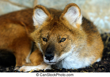 Dhole - Close up of a young Dhole or Indian Wild Dog Cuon...