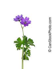 Hedgerow Crane`s-bill Geranium pyrenaicum