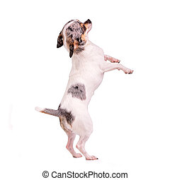 Chihuahua dancing on hind legs, isolated on white