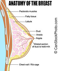 Anatomy of the breast - Female breast anatomic cross section...