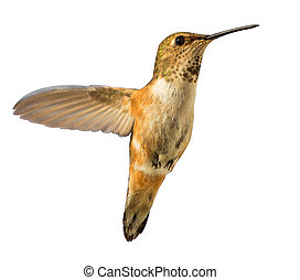 Hummingbird in flight isolated - Beautiful Hummingbird...