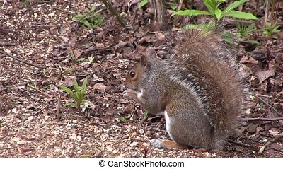 Grey squirrel scavenging for food in a wood, in England