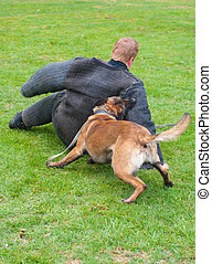dog attack - german shepherd dog attacks man in a protective...