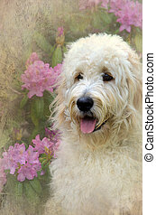 Goldendoodle in garden - Goldendoodle in summer garden with...