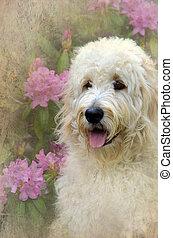 Goldendoodle in garden - Goldendoodle in summer garden with...