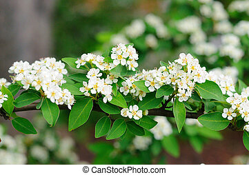 White flowers of branch of bird cherry tree in Fulda,...