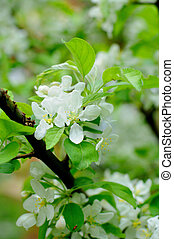 White flowers of an apple tree in Fulda, Hessen, Germany
