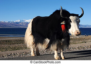 Tibetan yak - A black-and-white yak at the lakeside in the...