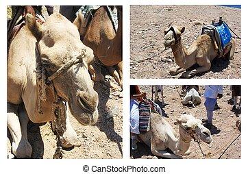 Camels, Egypt