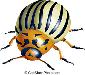 Colorado potato beetle illustration on white background