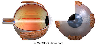 Eye diagram two views - 3D rendering of the human eye, two...