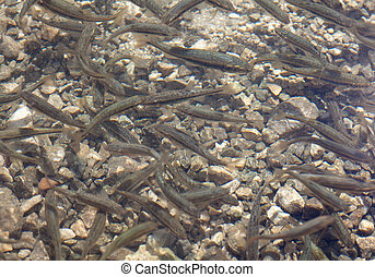 Shoal, a lot of fishes, Krnsko lake