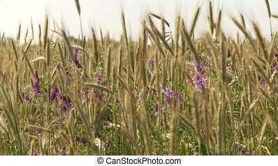 Grainfield with Flowers