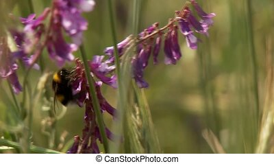 Bee in Grainfield