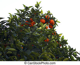 Bitter Orange - Bitter oranges were on tree%u2019s branch.
