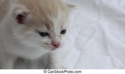 Crying Kitten - Baby kitten (about 6 weeks old), crying.