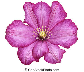 Clematis Flower - Purple Clematis Flower On White Background...