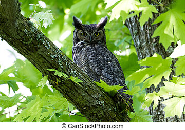 Great Horned Owl - Great Horned Owl, Delta BC Canada May...