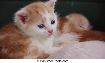 Kittens - Orange and white kittens, roughly 3 weeks old,...