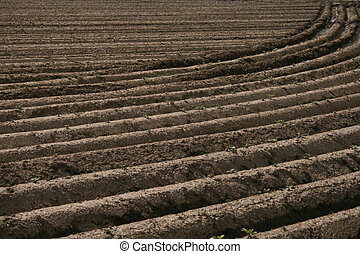 field with potato plants