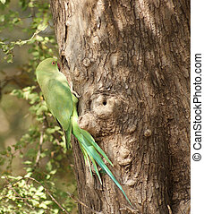 Rose-ringed Parakeet - bird named Rose-ringed Parakeet in...