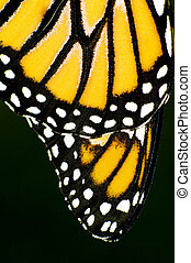 Monarch Butterfly  - Close up of Monarch Butterfly wings.