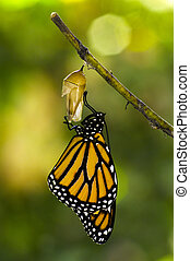 Monarch Butterfly Birth - Monarch Butterfly, Milkweed Mania,...