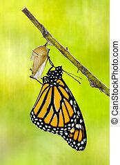 monarca, borboleta, nascimento
