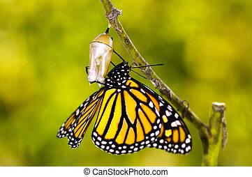 Monarque, papillon, naissance