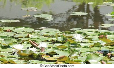 water lily - I took the water lily which bloomed in the pond...