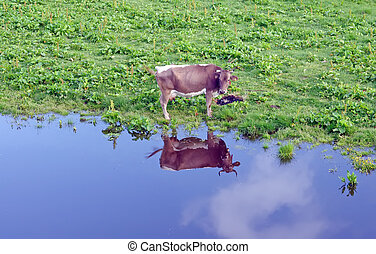 Cow near a lake reflecting in water