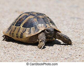turtle on sand, testudo hermanni - Hermann's Tortoise,...